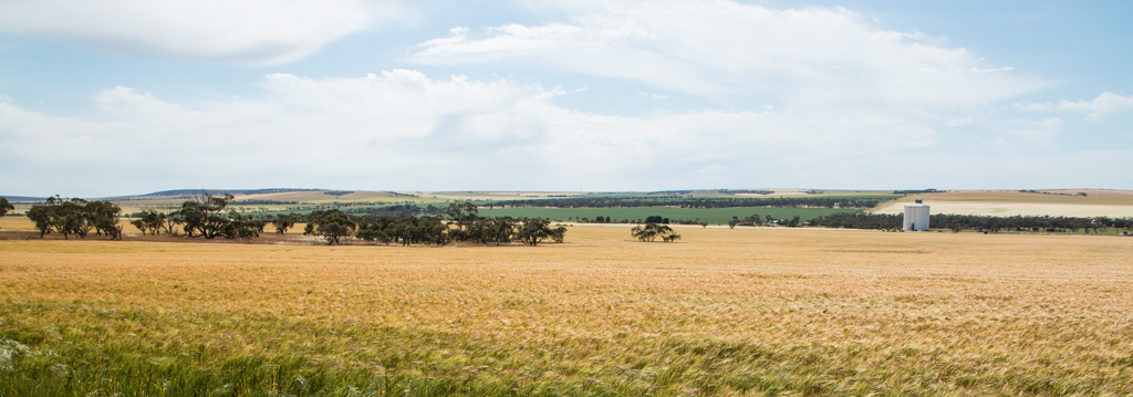 Wheat crops almost ready for harvest in South Australia