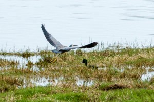 White Faced Heron and a Black Duck