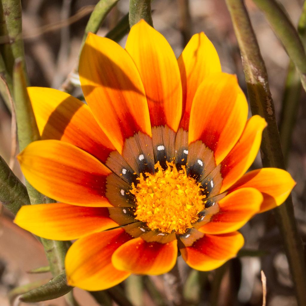 Gazania - Compositae (Asteraceae)