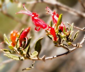 Eremophila duttonii (Budda or Harlequin Fuchsia Bush)