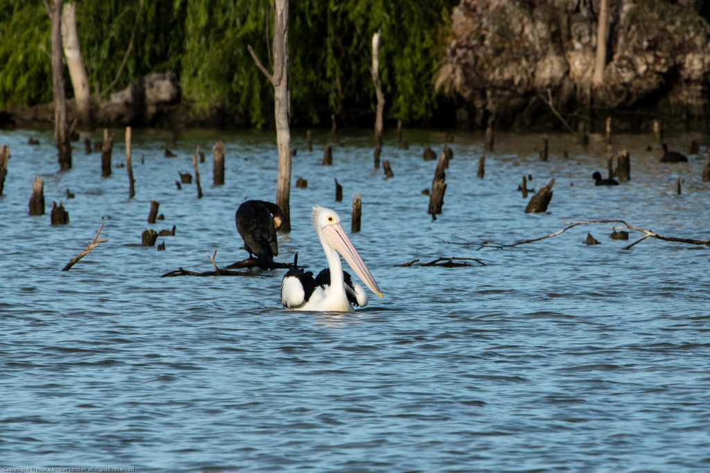 Australian Pelican on River Murray at Mannum in South Australia